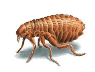fleas_187x142